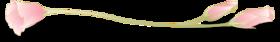 Lineeustoma